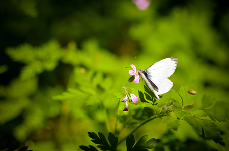 pieris: Small cabbage butterfly white on flower and grass Stock Photo