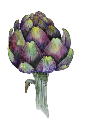 mediterranean diet: Watercolour artichoke on white background Stock Photo