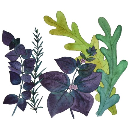 oregano: Watercolor painting basil, arugula, rosemary food illustration on a white background