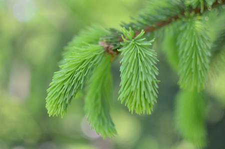 young sprout of spruce, natural forest background