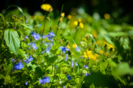 Background with fresh blue and yellow spring flowers field