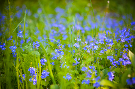Forget-me-not flowers vertical background of beautiful blue flower field