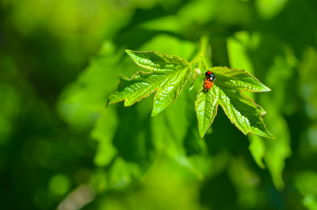 Insects mating. Ladybug mating on green leaf