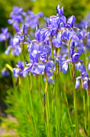 Violet blue flowers of wild iris, covered with drops of summer rain, on a green background of meadow grasses
