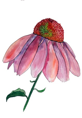 Watercolor image of flower of pink echinacea