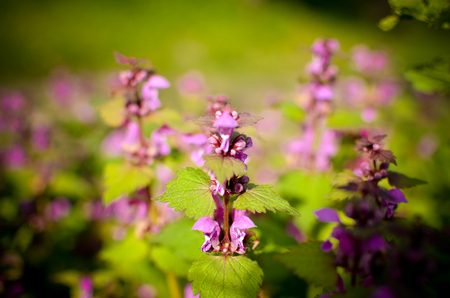 Princess nettle blooming with purple flowers