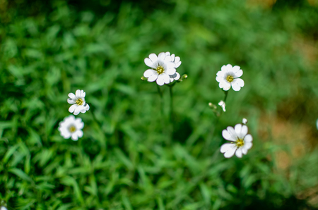 Little white Daisy or other flowers on the grass
