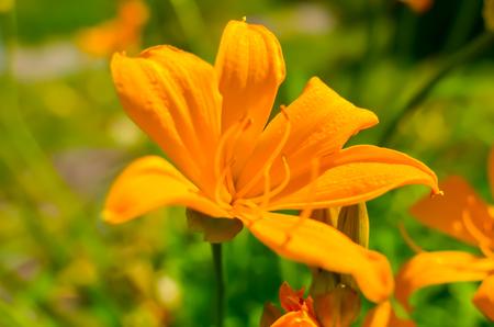 Beautiful orange lily flowers in the summer garden, wallpaper, photo