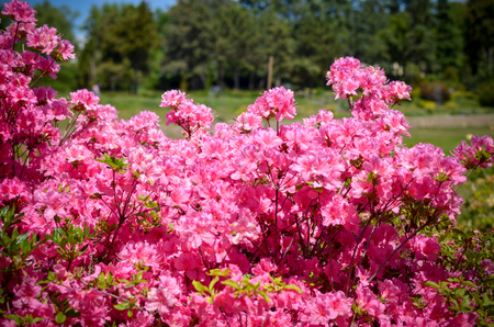 Blooming meadow with pink flowers of rhododendron bushes. Kyiv, Ukraine
