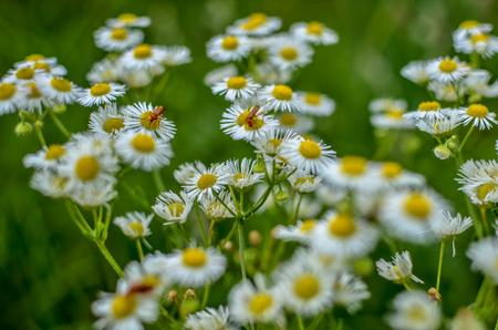 Campo de manzanilla en flor, flores de manzanilla en un prado en verano