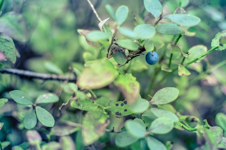 Blueberry plants with green leaves on the ground in the forest Stock Photo