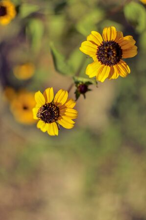 Black-Eyed Susan flowers of the Asteraceae family background
