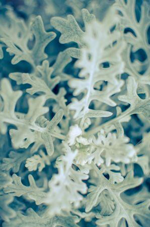 Gray soft eaves of Centaurea cineraria plant