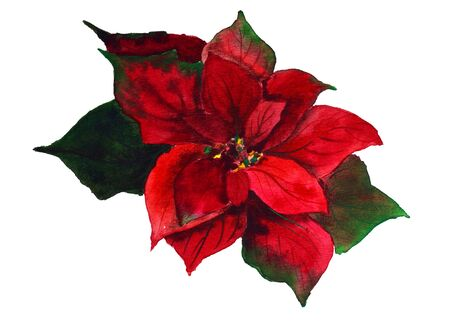 Poinsettia with Green Leaves. Watercolor Illustration Zdjęcie Seryjne