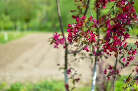 Red buds of decorative apple tree Malus Niedzwetzkyana . City greening. Springtime.