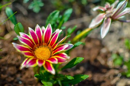 Close-up top view of one white and lilac Gazania flower in bloom in a garden. Blurred background of green leaves and ground Banque d'images