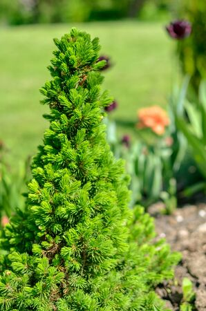 Canadian spruce conic, beautiful green tree close-up at spring