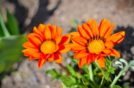 Closeup of several gazania rigens flowers with orange petals