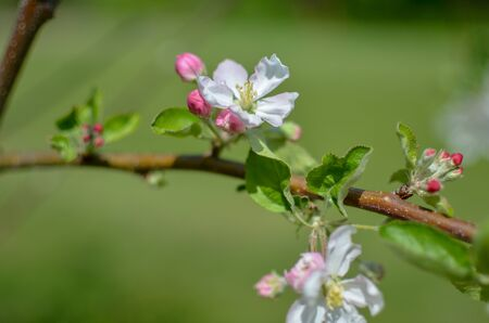 Picture of apple flower close-up on a light green background at spring Фото со стока