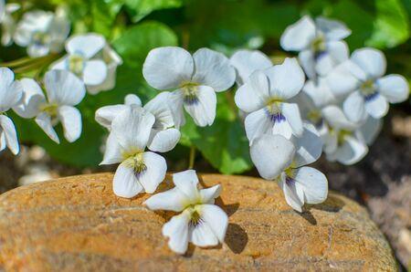 white viola odorata growing between stones