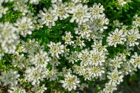 Iberis amara or bitter candytuft many white flowers