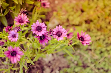 Purple daisy flower growing in spring garden