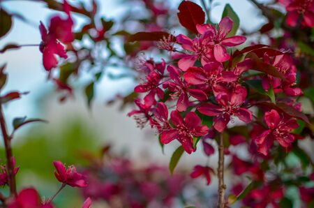 Apple tree Malus domestica blossoms in the spring. Variety 'Royalty' with red leaves and flowers
