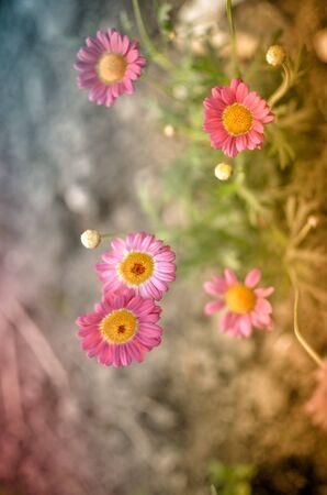 Painted Daisy Pyrethrum coccineum in garden, blured photo
