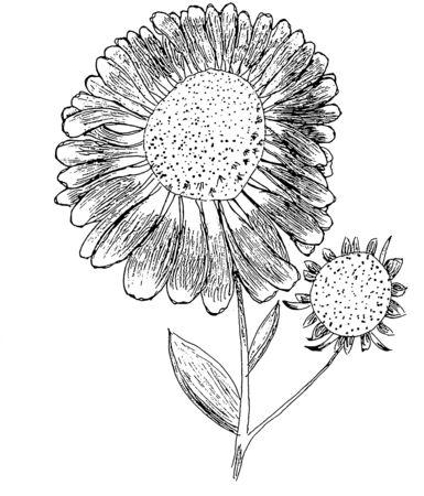 Elecampane illustration of helenium flower in black and white