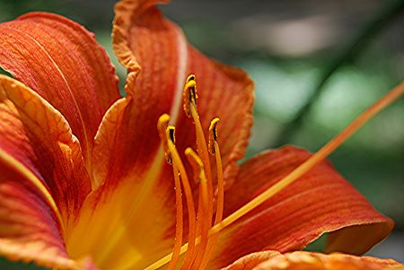 upclose: Day Lilly Stock Photo