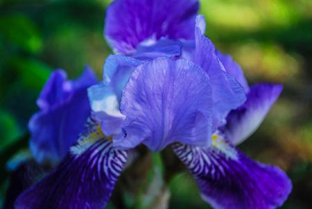 A Purple Bearded Iris