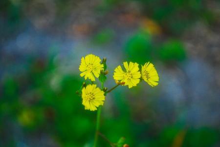 Yellow Hackweed