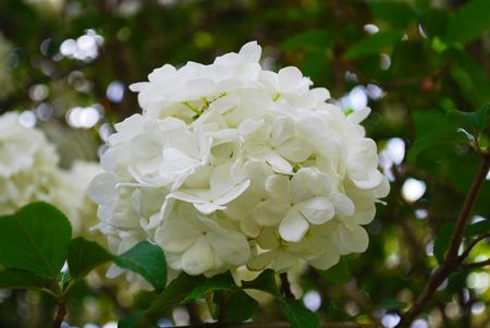 Snowball Bush Bloom Reklamní fotografie