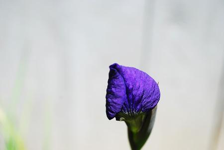 A Miniature Iris Bud Imagens