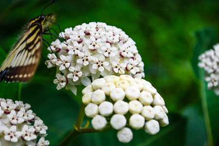 milkweed butterfly: A Butterfly and White Milkweed
