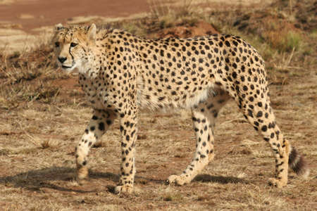 Cheetah walking alone on in the wild photo