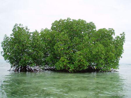 mangrove: group of mangrove