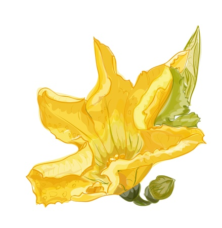 marrow squash: Zucchini flower on a white background. Vector image. Illustration
