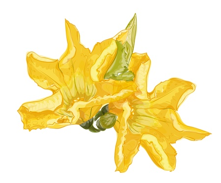 Zucchini flower on a white background. Vector image. Vector