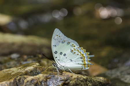animals feeding: Polyura delphis feeding on a stone Stock Photo