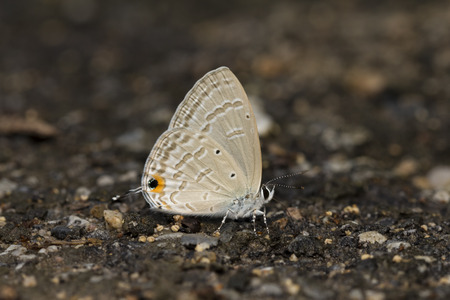 wetland: Forget-me-not Butterfly feeding mineral on the ground.