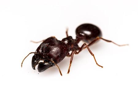 hormiga hoja: Hoja hormiga cortadora aislado en fondo blanco Foto de archivo