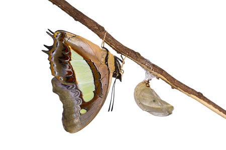 emerge: Nawab butterfly emerge from pupa on white background together with clipping path.