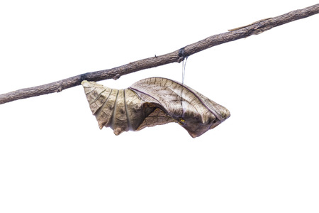 pupa: Birdwing butterfly inside pupa on white background together with clipping path.