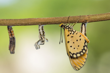 reborn: Monarch butterfly emerge from pupa in nature.