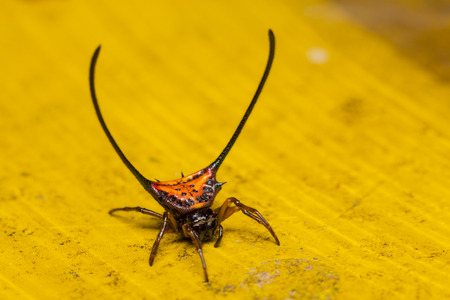 longhorned: Close up of Long-horned Orb-weaver spider or curved spiny spider Macracantha arcuata in nature