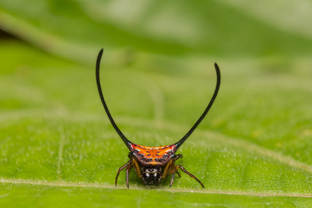 arcuata: Close up of Long-horned Orb-weaver spider or curved spiny spider Macracantha arcuata in nature