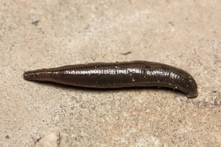 pijawka: the blood-sucking leech tucks on the human skin in  tropical rain forest.