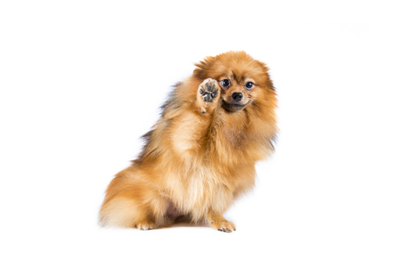 pomeranian: Pomeranian dog on white background. Stock Photo