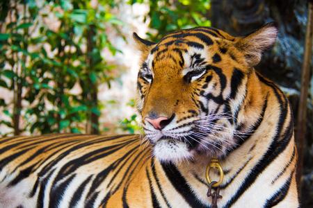 chon: Tiger at Suan Nong Nooch in thailand, Chon buri, tiger